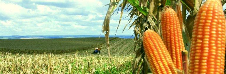 Como plantar milho de pipoca