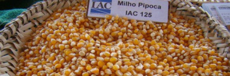 Mercado-do-milho-do-tipo-pipoca